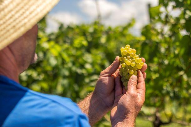 Boas-vindas à vindima: maior vinícola do país comemora safra 15% maior e qualidade histórica